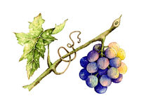 Grape. Botanical illustration of grape, vector made from watercolor Royalty Free Stock Photography