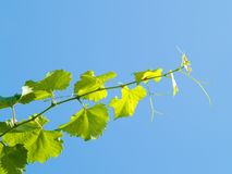 Grape branch Stock Photos