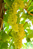 Grape on branch Royalty Free Stock Images