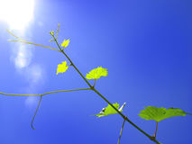 Grape branch. Against the blue sky Stock Image