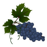 Grape branch Royalty Free Stock Photo