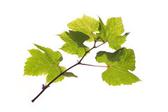 Grape branch isolated Stock Image