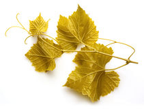 Grape branch with leaves and tendrils on white background. Dolma Stock Image