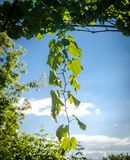 Grape branch Royalty Free Stock Images