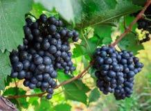 Grape on branch in vineyard Stock Photo