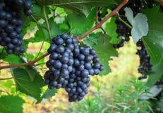 Grape on branch in vineyard Stock Photos