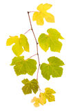 Grape branch with yellow and green leaves Stock Images