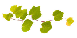 Grape branch with yellow and green leaves Stock Image