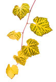 Grape branch with yellow leaves Royalty Free Stock Images