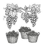 Grape branches and grapes in baskets. Royalty Free Stock Images