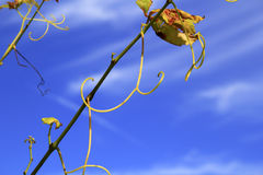 Grape branches on vine under blue sky Royalty Free Stock Photography