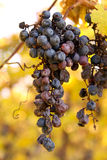Grape Bunch Royalty Free Stock Photography
