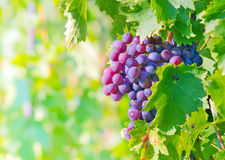 Grape bunch Stock Photography