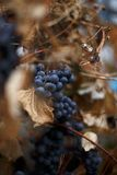 Grape. Bunch of blue grapes on a branch Royalty Free Stock Photo