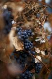 Grape. Bunch of blue grapes on a branch Royalty Free Stock Photos