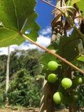 Grape bunch Stock Image
