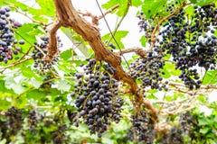 Grape bunch fruit in vineyard Stock Photography