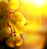 Grape. Bunch of grapes on grapevine Royalty Free Stock Photos