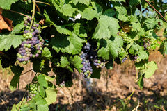 Grape bunch hanging from vine in winemaking region. Closeup picture Royalty Free Stock Photos