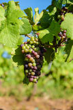 Grape bunch hanging from vine in winemaking region. Closeup picture Royalty Free Stock Images