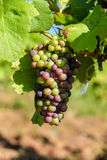 Grape bunch hanging from vine in winemaking region. Closeup picture Royalty Free Stock Image