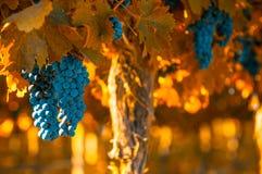 Grape bunch, very shallow focus Stock Image