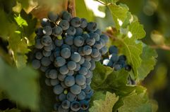 Grape bunch, very shallow focus royalty free stock photos