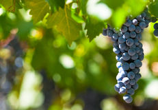 Grape bunch, very shallow focus Royalty Free Stock Image