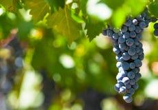 Grape bunch, very shallow focus. Ripe grape bunch, very shallow focus royalty free stock image
