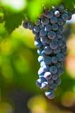 Grape bunch, very shallow focus. Ripe grape bunch, very shallow focus stock photos