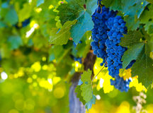 Grape bunch, very shallow focus Stock Photography