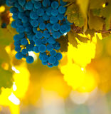 Grape bunch, very shallow focus Royalty Free Stock Photography