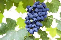 Grape bunch, very shallow focus beautiful summer stock photography