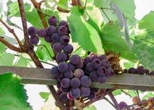 Grape bunch, very shallow focus beautiful summer royalty free stock photos