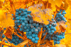 Grape bunch, very shallow focus Stock Images