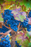 Grape bunch, very shallow focus Royalty Free Stock Images