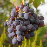 Grape bunch Stock Photo