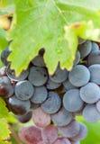 Grape bunch Royalty Free Stock Photo
