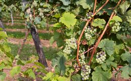 Grape bunch in the vineyard for the production of sparkling wine Stock Image