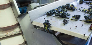 Grape bunches on conveyer. For vine or juice producing royalty free stock photo