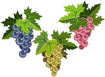 Grape bunches with leaves. Illustration of pink grape bunch with leaves Stock Images