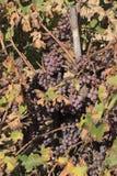 Grape bunches Stock Photos