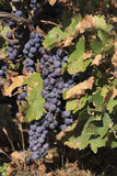 Grape bunches Royalty Free Stock Image