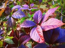 Grape bush Stock Photo