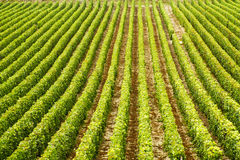 Grape bushes on the field arranged in rows, France, Champagne Royalty Free Stock Photo