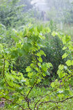Grape bushes during heavy rain Royalty Free Stock Photos