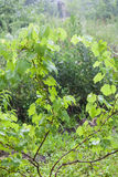 Grape bushes during heavy rain Royalty Free Stock Photography