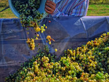 Grape business. A man emptying a bucket of grapes into a container Stock Photo