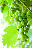 Grape canopy Stock Photography
