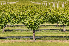 Grape canopy management in vineyard Royalty Free Stock Images